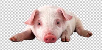 Клипарт свинья, для Фотошоп в PSD и PNG, без фона