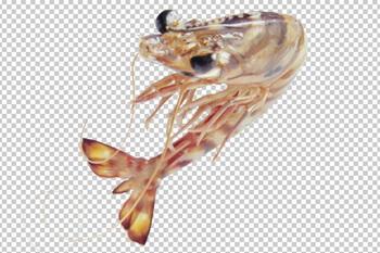 Клипарт морская кревека, для фотошоп, PSD PNG без фона
