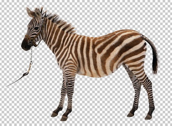 Клипарт зебра, для Фотошоп в PSD и PNG, без фона