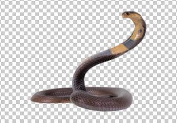 Клипарт кобра, для Фотошоп в PSD и PNG, без фона