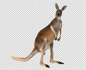 Клипарт кенгуру, для Фотошоп в PSD и PNG, без фона