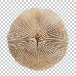 Клипарт морская губка, для Фотошоп в PSD и PNG, без фона