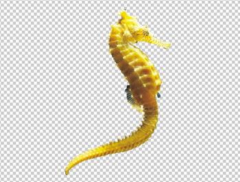 Клипарт морской конек, для Фотошоп в PSD и PNG, без фона