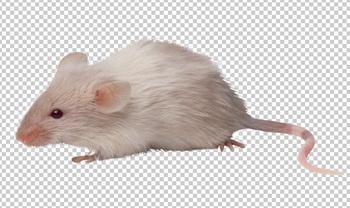 Клипарт мышка, для Фотошоп в PSD и PNG, без фона