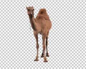 Клипарт верблюд, для Фотошоп в PSD и PNG, без фона
