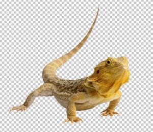 Клипарт ящерица, для Фотошоп в PSD и PNG, без фона