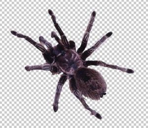 Клипарт паук, для Фотошоп в PSD и PNG, без фона