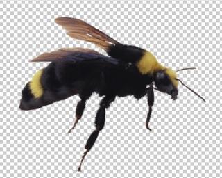 Клипарт пчела, для Фотошоп в PSD и PNG, без фона