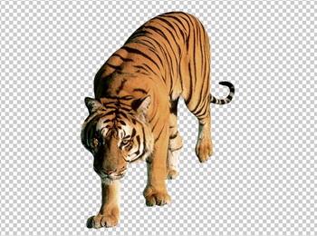 Клипарт тигр, для Фотошоп в PSD и PNG, без фона