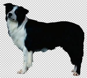 Клипарт бордер-колли собака, для фотошоп, PSD PNG без фона