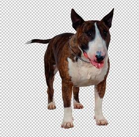 Клипарт бультерьер, для Фотошопа в PSD и PNG, без фона