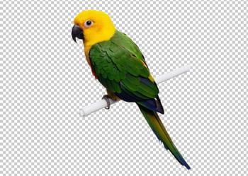 Клипарт попугай, фото для Фотошоп в PSD и PNG, без фона