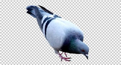 Клипарт голубь, фото для Фотошоп в PSD и PNG, без фона