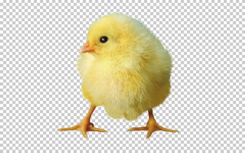 Клипарт цыпленок, фото для Фотошоп в PSD и PNG, без фона
