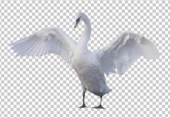 Клипарт лебедь, фото для Фотошоп в PSD и PNG, без фона