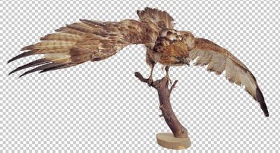Клипарт орел, фото для Фотошоп в PSD и PNG, без фона
