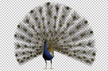 Клипарт павлин, фото для Фотошоп в PSD и PNG, без фона