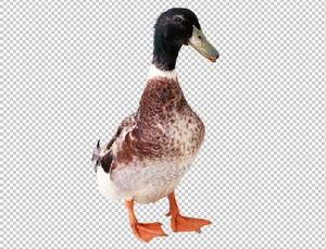 Клипарт утка, фото для Фотошоп в PSD и PNG, без фона