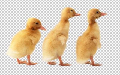 Клипарт утята, фото для Фотошоп в PSD и PNG, без фона