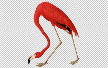 Клипарт розовый фламинго, фото для Фотошоп в PSD и PNG, без фона