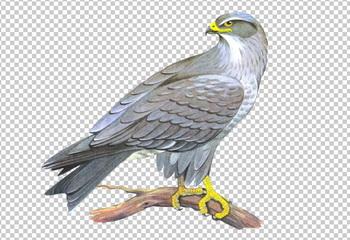 Клипарт сокол, фото для Фотошоп в PSD и PNG, без фона