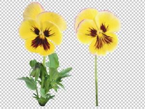 Клипарт цветок — анютины глазки, для Фотошоп в PSD и PNG, без фона