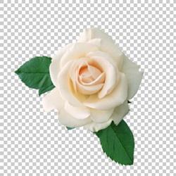 Клипарт цветок — белая роза, для Фотошоп в PSD и PNG, без фона