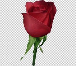 Клипарт цветок — красная роза, для Фотошоп в PSD и PNG, без фона