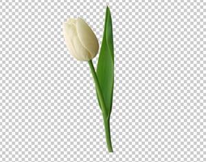 Клипарт цветок — белый тюльпан, для Фотошоп в PSD и PNG, без фона