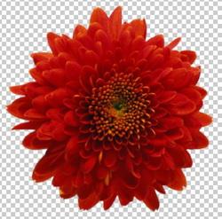 Клипарт цветок — астра красного цвета, для Фотошоп в PSD и PNG, без фона