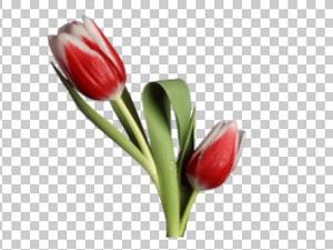 Клипарт красные тюльпаны, цветы, фотошоп, PSD PNG