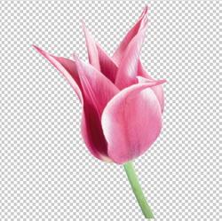 Клипарт цветок — розовый тюльпан, для Фотошоп в PSD и PNG, без фона