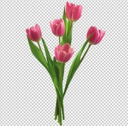Клипарт цветы — розовые тюльпаны, для Фотошоп в PSD и PNG, без фона