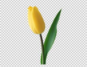 Клипарт цветок — желтый тюльпан, для Фотошоп в PSD и PNG, без фона
