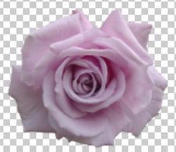 Клипарт цветок — фиолетовая роза, для Фотошоп в PSD и PNG, без фона