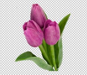 Клипарт цветы — фиолетовые (сиреневые) тюльпаны, для Фотошоп в PSD и PNG, без фона