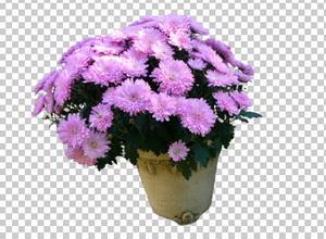 Клипарт цветы — хризантемы в горшке, для Фотошоп в PSD и PNG, без фона
