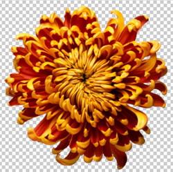 Клипарт цветок — хризантема бардово-оранженая, для Фотошоп в PSD и PNG, без фона