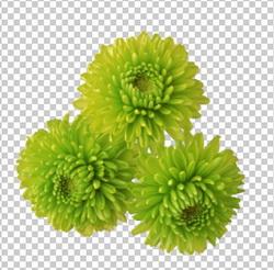 Клипарт хризантемы салатово-зеленые, для Фотошоп в PSD и PNG, без фона