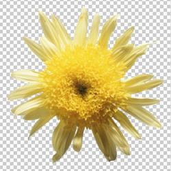 Клипарт желтая  хризантема, для Фотошоп в PSD и PNG, без фона