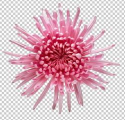 Клипарт хризантема розовая, для Фотошоп в PSD и PNG, без фона