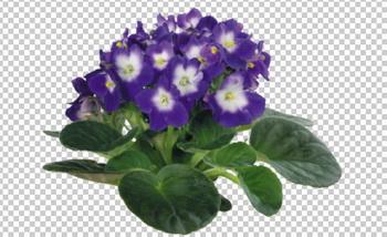 Клипарт фиалка фиолетовая, для Фотошоп в PSD и PNG, без фона