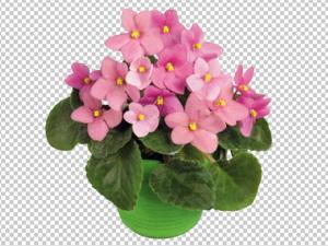 Клипарт фиалка розовая в горшке, для Фотошоп в PSD и PNG, без фона