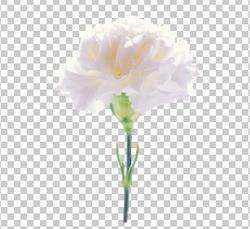 Клипарт белая гвоздика, для Фотошоп в PSD и PNG, без фона