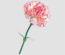 Клипарт гвоздика розовая, для Фотошоп в PSD и PNG, без фона