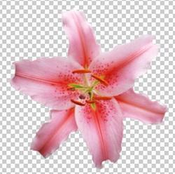 Клипарт лилия розовая, для Фотошоп в PSD и PNG, без фона