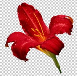 Клипарт лилия красная, для Фотошоп в PSD и PNG, без фона