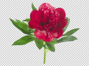 Клипарт пион красный, для Фотошоп в PSD и PNG, без фона