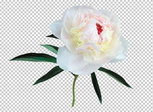 Клипарт пион белый, для Фотошоп в PSD и PNG, без фона