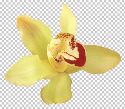 Клипарт орхидея желтая, для Фотошоп в PSD и PNG, без фона